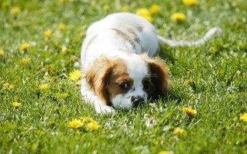 глаза, морда, цветы, трава, зелень, шерсть, поле, пятна, щенок, одуванчики, играет, окрас, спаниель