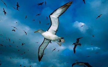 облака, синий, чайка, птицы, чайки