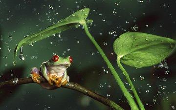 вода, листья, животные, капли, лягушка, стебли, животно е