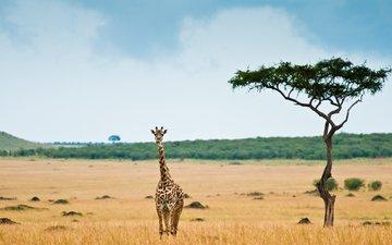африка, жираф, саванна