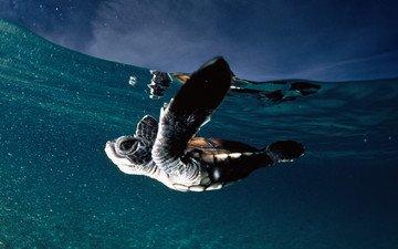 вода, океан, черепашка, франзузская полинезия