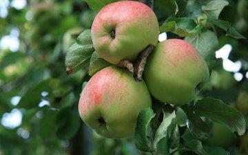 природа, утро, еда, яблоки, деревня, сад, яблоко, яблоня