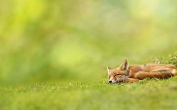 grass, nature, greens, sleeping, red, fox, wolf