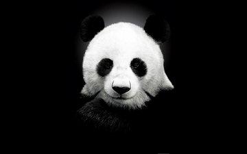 панда, черный цвет, медведь