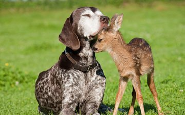 dog, friendship, fawn