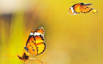 yellow, background, butterfly, fly