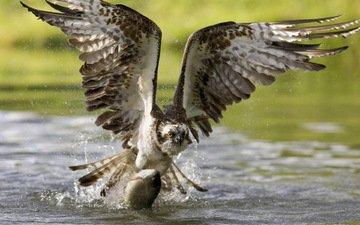 полет, крылья, орел, птица, клюв, охота, рыба, поймал