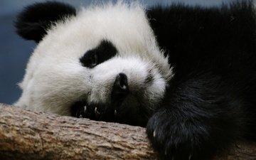 ветка, панда, медведь, спит