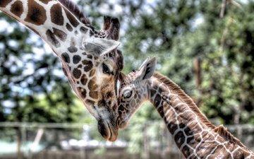 нежность, мама, малыш, жираф, детеныш