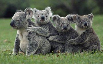 трава, природа, животные, коала, сумчатые медведи, животно е