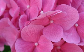 flowers, macro, hydrangea