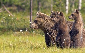трава, деревья, природа, лес, животные, медведи, животно е