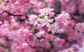 цветение, ветки, весна