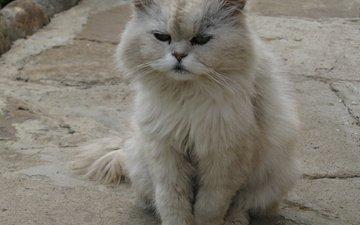 кот, мордочка, кошка, взгляд, пушистый