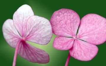 цветы, лепестки, фиалка