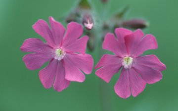 flowers, campion, silene dioica