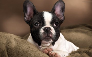 мордочка, взгляд, собака, щенок, французский бульдог