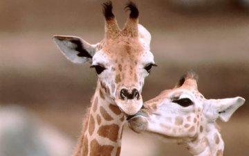морда, фон, пятна, уши, жираф, жирафы, рожки