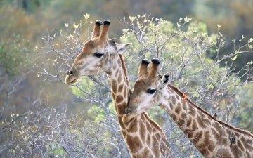 животные, ветки, жираф, жирафы, шея