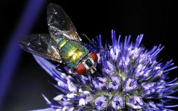 насекомое, цветок, муха