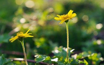 цветы, природа, макро, лепестки, стебли, желтый цветок