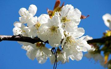 цветы, ветка, цветение, цветок, лепестки, весна, вишня