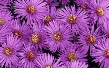 цветы, лепестки, крупный план, сиреневые, астры