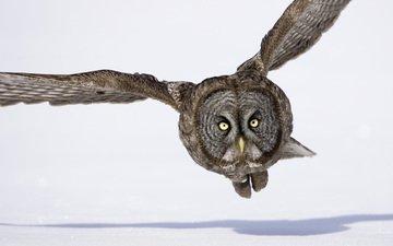 сова, снег, зима, полет, крылья, тень, птица, бородатая неясыть, неясыть
