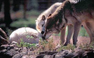 волки, стая, волк