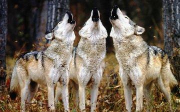 волки, воют, трое