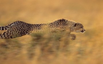 running, cheetah, rapid