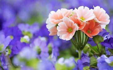 цветы, растения, макро, розовые, полевые, сиреневые