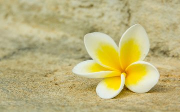 желтый, цветок, белый, плюмерия, франжипани