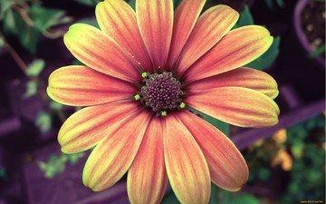 природа, макро, цветок, оранжевая, гербера