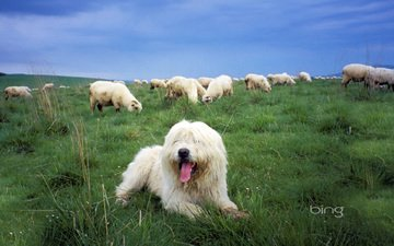 трава, собака, овцы