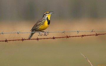 природа, забор, птицы, колючая проволока, щегол, птаха