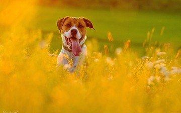 морда, цветы, взгляд, собака, друг, язык