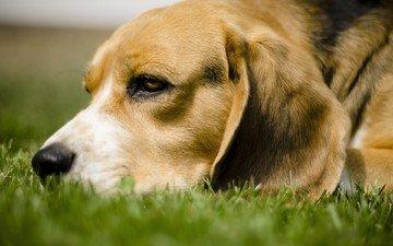 трава, собака, лежит, бигль, грустная собачка