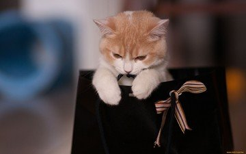 кошка, котенок, подарок, киса, сумка