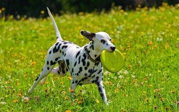 цветы, трава, собака, щенок, игра, далматин, играет, долматин