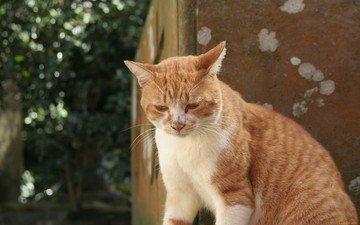 кот, кошка, рыжий, рыжий кот