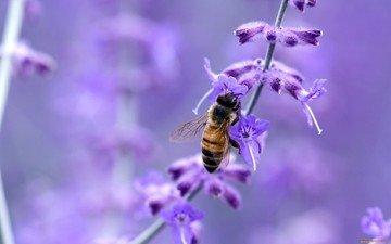 макро, цветок, насекомые, пчела