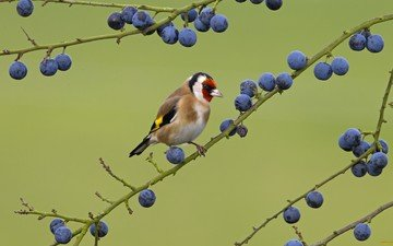 nature, branches, birds, berries, bird, goldfinch