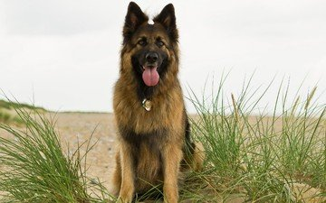 grass, look, dog, each, collar, german shepherd, shepherd, german