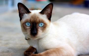 кошка, сиамская, голубоглазая, сиамская кошечка