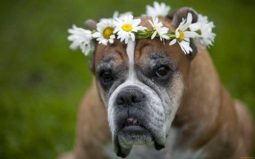 цветы, взгляд, собака, друг, венок, собачка, боксер