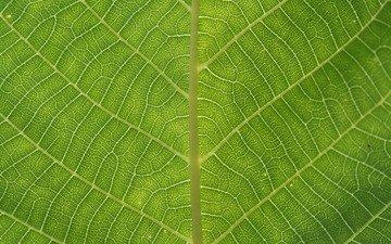 зелень, зелёный, макро, лист