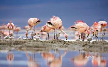 озеро, отражение, фламинго, птицы, перья, птенцы