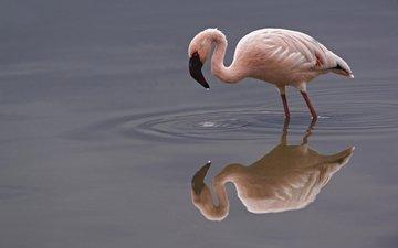 вода, отражение, фламинго, птица, flamingos