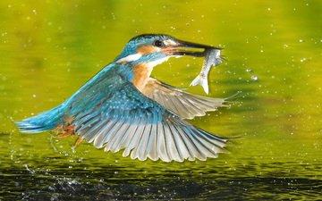 птица, рыба, зимородок, рыболов, зимиродок